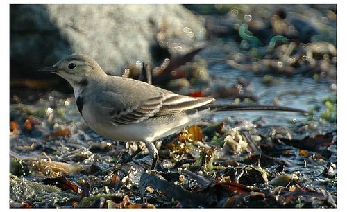 """White Wagtail • <a style=""""font-size:0.8em;"""" href=""""http://www.flickr.com/photos/30837261@N07/10723340556/"""" target=""""_blank"""">View on Flickr</a>"""
