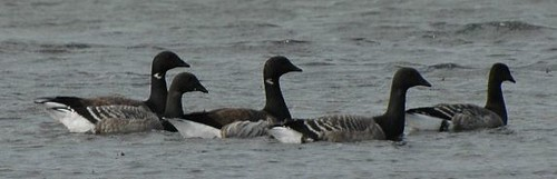 """Brent Goose • <a style=""""font-size:0.8em;"""" href=""""http://www.flickr.com/photos/30837261@N07/10722970836/"""" target=""""_blank"""">View on Flickr</a>"""
