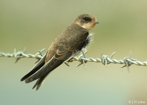 "Sand Martin ( J H Johns) • <a style=""font-size:0.8em;"" href=""http://www.flickr.com/photos/30837261@N07/10723058656/"" target=""_blank"">View on Flickr</a>"