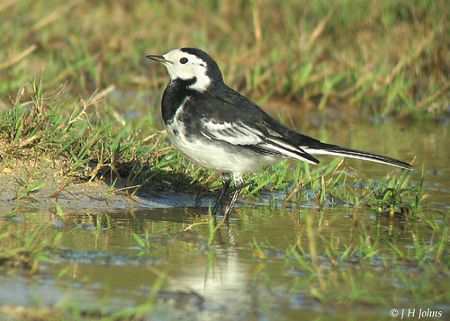 """Pied Wagtail (J H Johns) • <a style=""""font-size:0.8em;"""" href=""""http://www.flickr.com/photos/30837261@N07/10723335816/"""" target=""""_blank"""">View on Flickr</a>"""