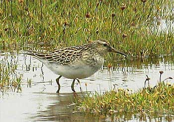 """Pectoral Sandpiper, Copperhouse Creek, Hayle, Aug 2003, M.Halliday • <a style=""""font-size:0.8em;"""" href=""""http://www.flickr.com/photos/30837261@N07/10722298374/"""" target=""""_blank"""">View on Flickr</a>"""