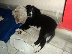 Diablo Puppy 13
