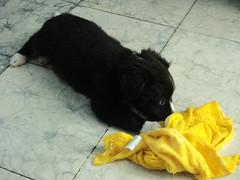 Diablo Puppy 8