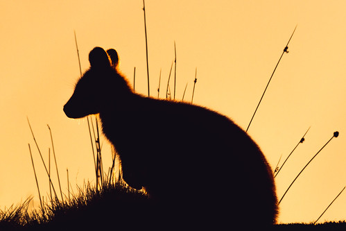 Silhouette of a Wallaby