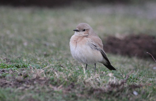 "Desert Wheatear, Porthgwarra, 04.12.14 (M Halliday) • <a style=""font-size:0.8em;"" href=""http://www.flickr.com/photos/30837261@N07/15803847487/"" target=""_blank"">View on Flickr</a>"