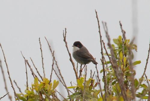 "Sardinian Warbler, Lands End, 170515 (I.Maclean) • <a style=""font-size:0.8em;"" href=""http://www.flickr.com/photos/30837261@N07/17886093172/"" target=""_blank"">View on Flickr</a>"
