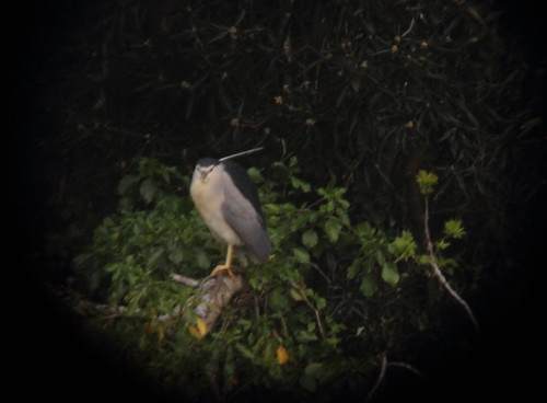 """Night Heron, Heslton, 170515, (I.Maclean) • <a style=""""font-size:0.8em;"""" href=""""http://www.flickr.com/photos/30837261@N07/17268673973/"""" target=""""_blank"""">View on Flickr</a>"""
