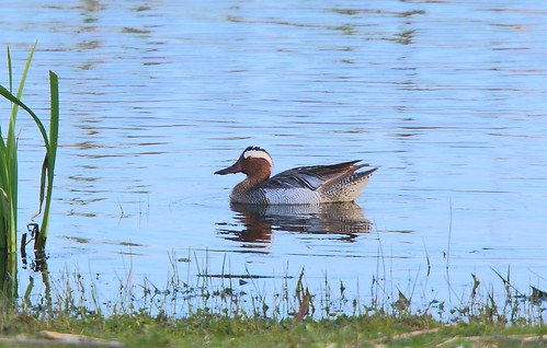 """Garganey, Marazion, 24.04.16 (M.Halliday) • <a style=""""font-size:0.8em;"""" href=""""http://www.flickr.com/photos/30837261@N07/26555703450/"""" target=""""_blank"""">View on Flickr</a>"""