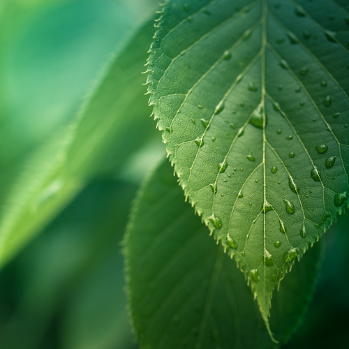 Green Leaves by ►CubaGallery
