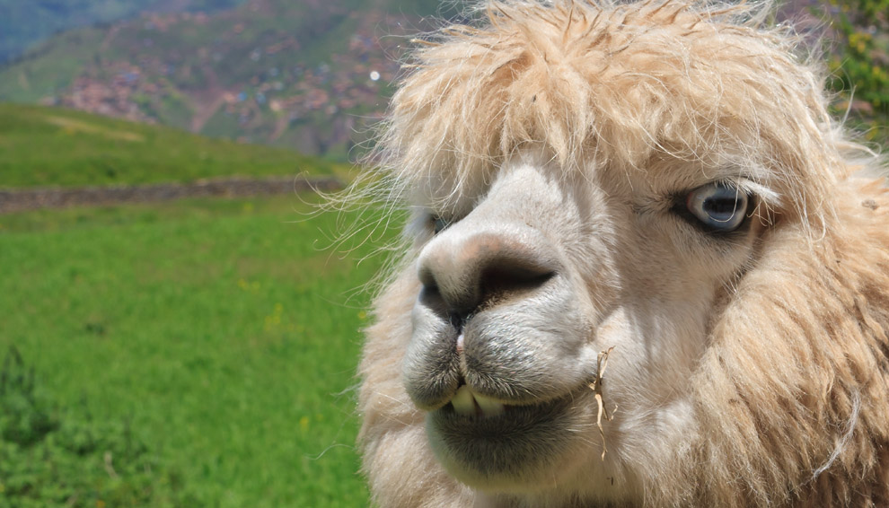Una sonrisa para la foto señorita Llama. ¡Gracias!. Cuzco, Perú (Guillermo Morales)