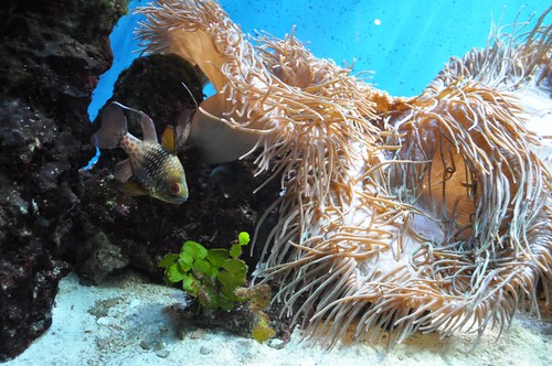 Anemone Exhibit at Aquarium of Niagara, Dec. 26, 2011