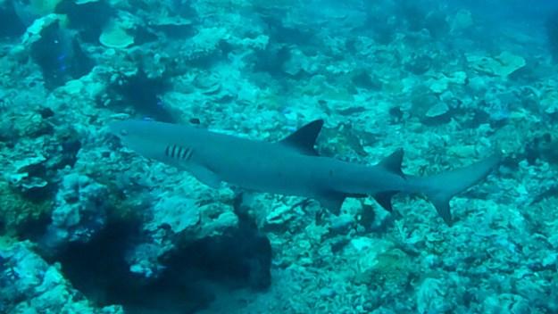 Reef shark. Diving Sipadan