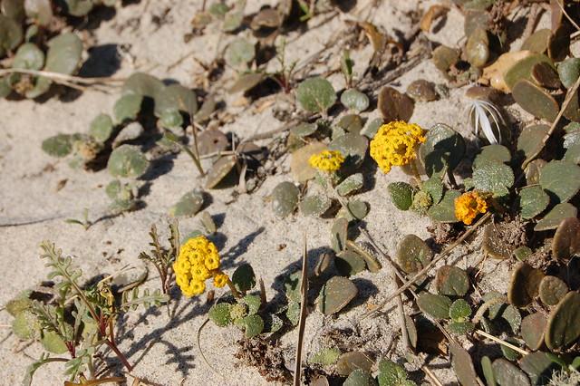 Abronia latifolia - Coastal Sand Verbena