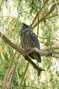 A Great Horned Owl at Haynes Point Provincial Campground