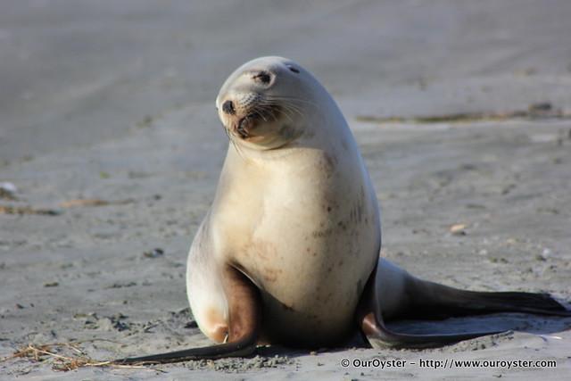 Gorgeous Sea Lion
