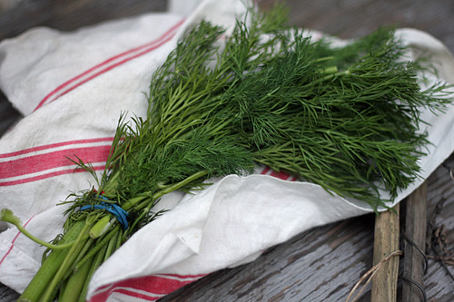 fresh dill bunch