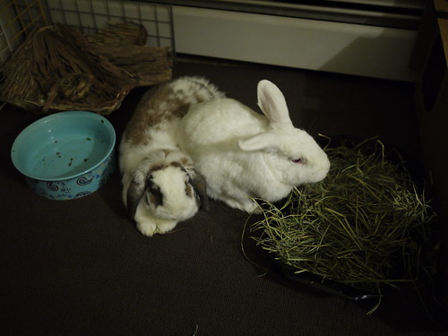 gus sits on betsy while eating hay