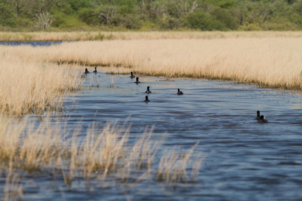 Un gran número de Macá pico grueso (Podilymbus podiceps) se encontraba en esta laguna, a la vera de uno de los caminos de tierra. La poca profundidad de agua permitió adentrarnos unos 300 metros hasta este lugar escondido entre la hierba. (Tetsu Espósito)