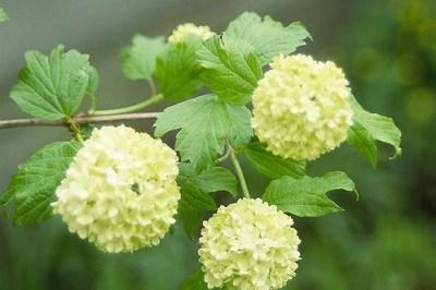雪球荚莲属的植物