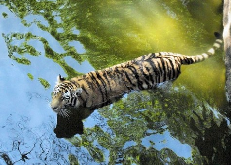 Tiger in the Water 157
