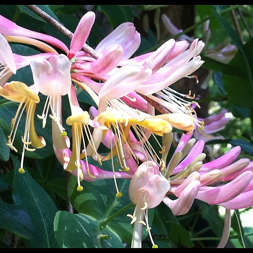 Honeysuckle vine from Mary Donnell. #greatbarringtonma #photoadaymay #laundrylinedivine #pinkflowers #nofilter #instagood Happy Sunday