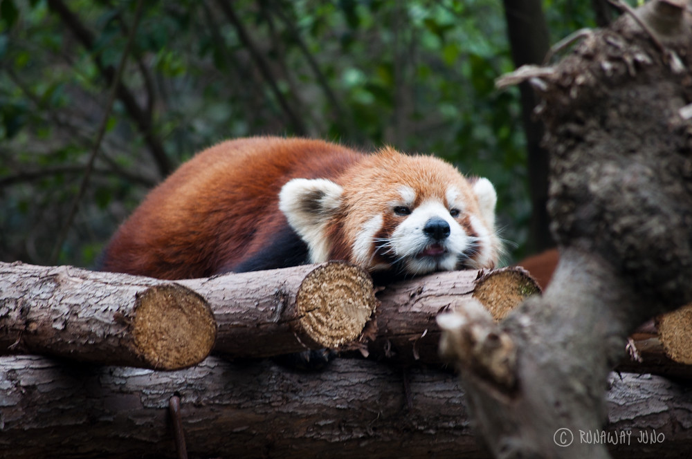 Red_Panda_Sleeping_Chengdu_Sichuan_China