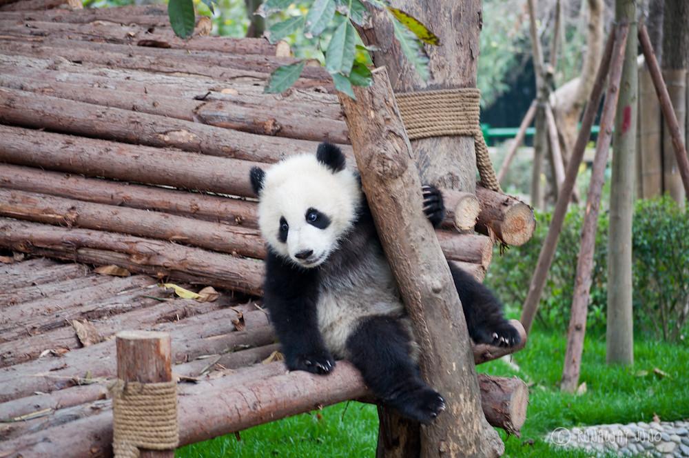 Panda_kindergarten_Chengdu_Sichuan_China