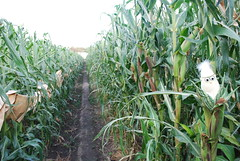 Corn crosses