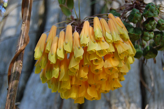 Bomarea sp. - Climbing Alstroemeria