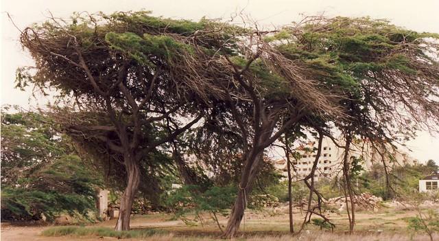 Divi divi tree, Aruba