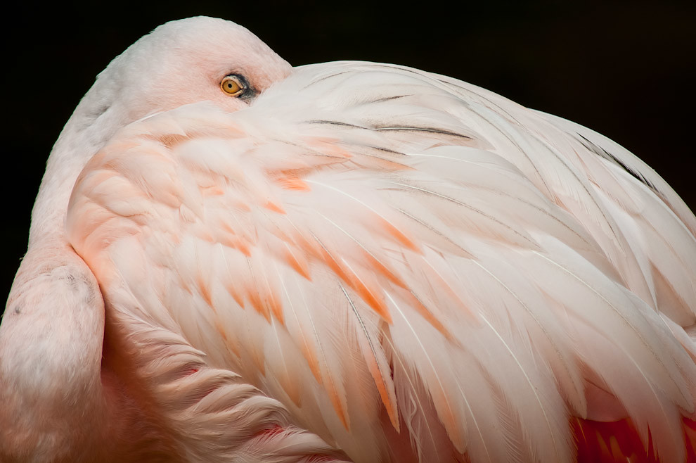 Un Flamenco austral (Phoenicopterus chilensis) nos observa mientras toma una siesta en la típica posición que adoptan las aves cuando dormitan, ocultando su pico entre sus plumas. Decenas de esta especie son vistas en el Zoológico. (Elton Núñez).