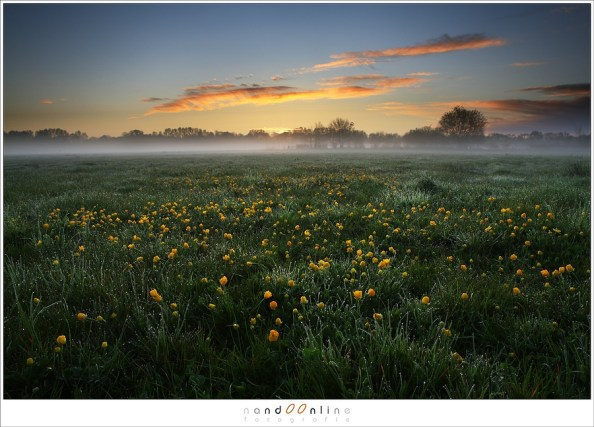Buttercups just before sunrise (5D029748)