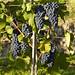 Meyer Family Vineyards   Photo: Henry Georgi