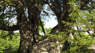 Ancient yew, Wilmington churchyard, East Sussex