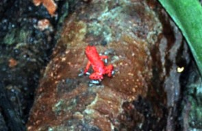Una de las dos ranas rojas que pude ver aunque se escuchan cientos de ellas