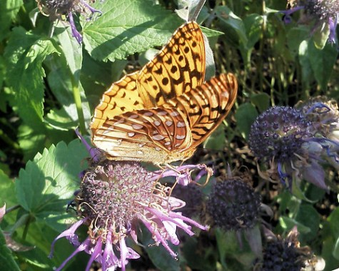 fritillary at the zoo