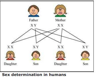 NCERT Solutions for Class 10th Science: Chapter 9 Heredity and Evolution Image by AglaSem