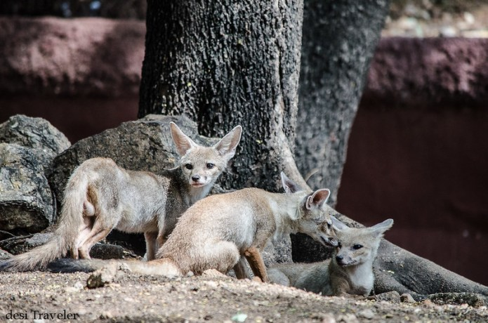Indian Fox family resting under tree Hyderabad zoo