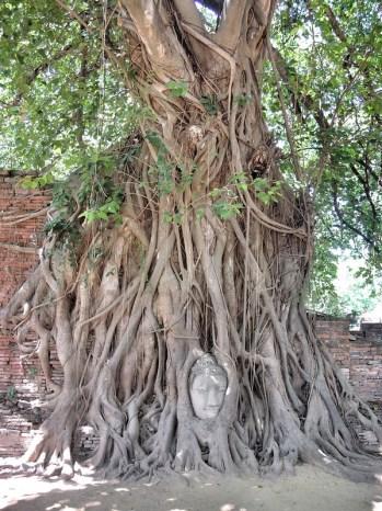 Buddhakopf von einem Bodhi Baum umwachsen