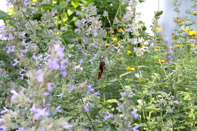 butterfly in catmint by james casey