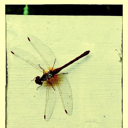 #dragonfly morning. XoS