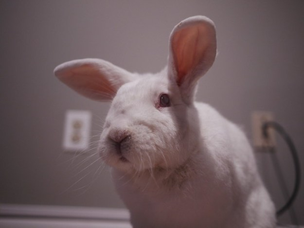 gus is the boss bunny