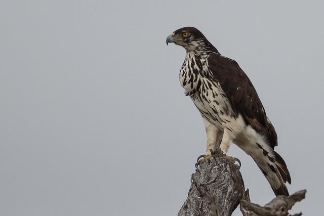 African Hawk Eagle (Cropped)