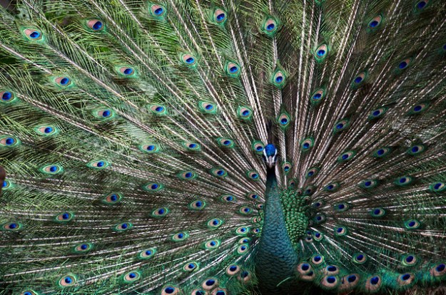 Peacock colors