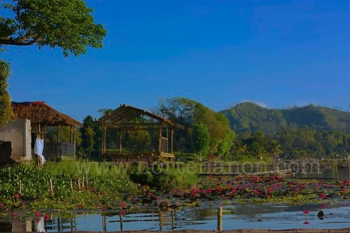 5 Lake Sebu lotuses