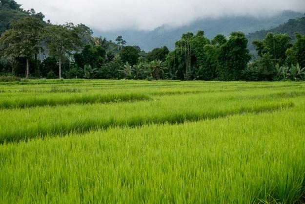 Rice fields. Moni