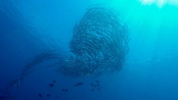 Barracuda vortex. Barracuda Point, diving Sipadan.