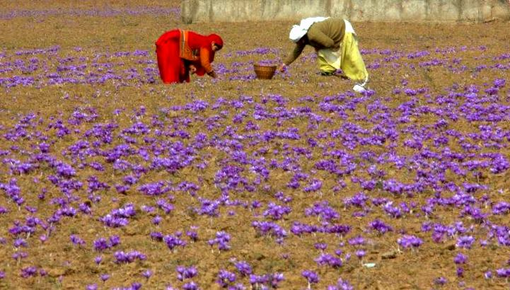 saffron collection is back breaking job