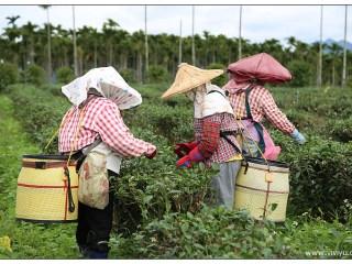 [花蓮.旅遊]蜜香紅茶的故鄉.東昇茶行&嘉茗茶園