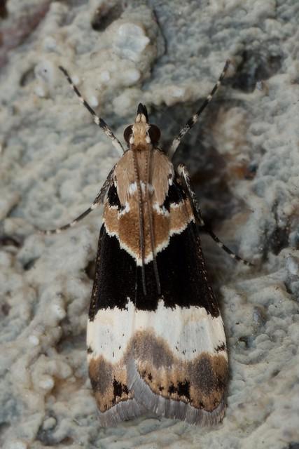 Eudonia aspidota 2014-12-31 at 11-41-30